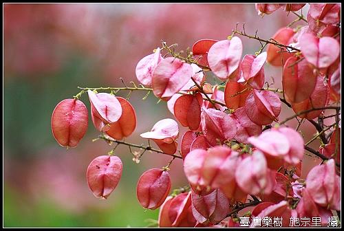 台灣櫟樹2.jpg