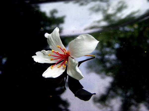 彷彿飄在空中的桐花