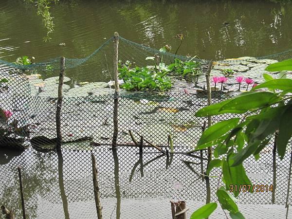 養鴨旁邊.河裡的荷花(拔來生吃)