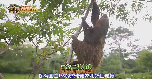 尼加拉瓜-二趾樹懶.PNG