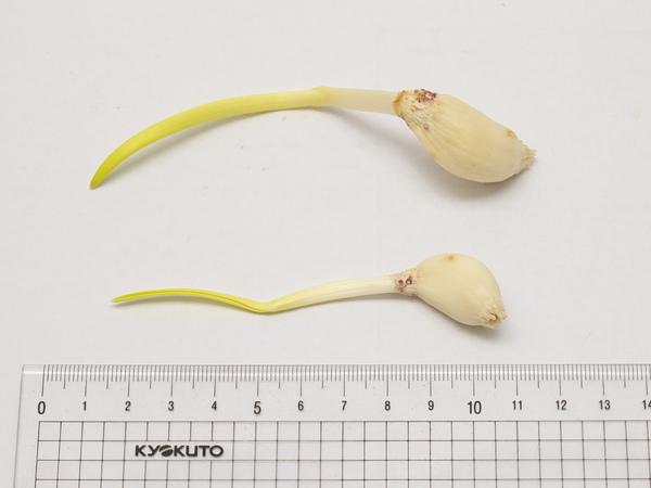 發芽的蒜頭