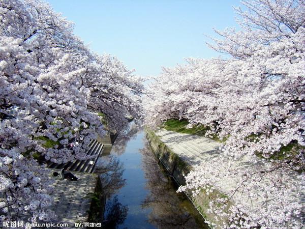 日本櫻花林