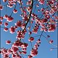 杉林溪的櫻花