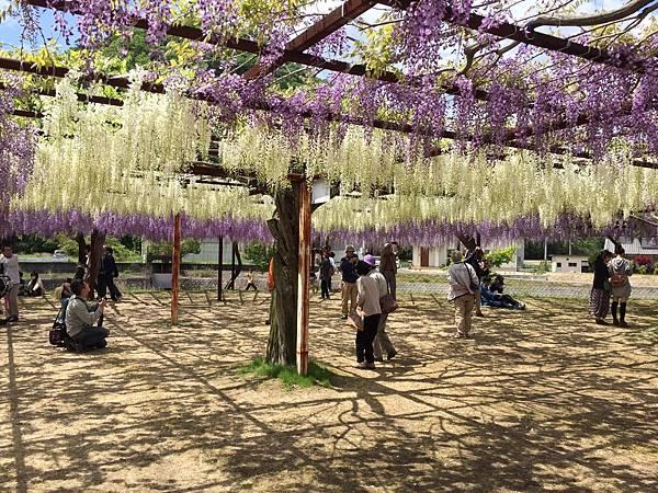岡山景點推薦藤公園紫藤花