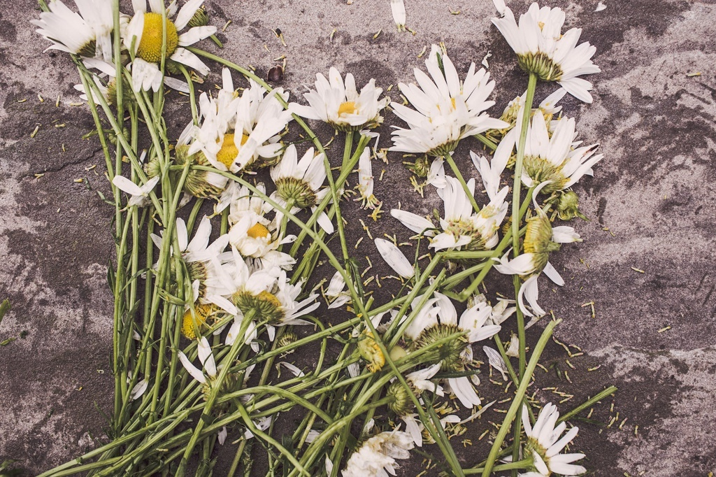 flowers-marguerites-destroyed-dead.jpg
