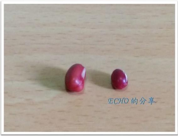 一起孵豆芽之紅豆芽