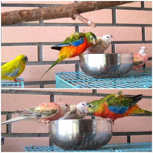 養鸚鵡5.jpg