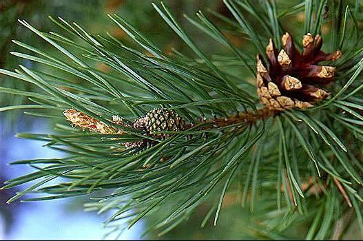 pine needles1