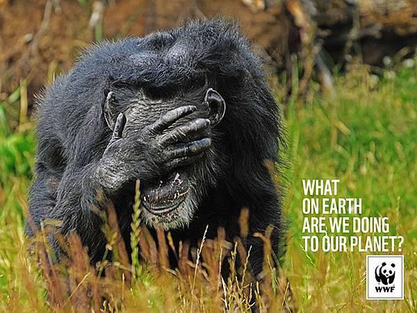 WWF-Denmark-Chimpanse (1)