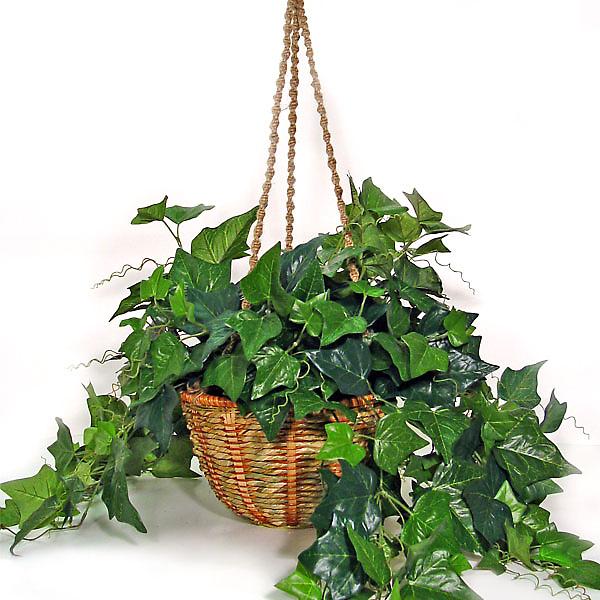 english-ivy.jpg