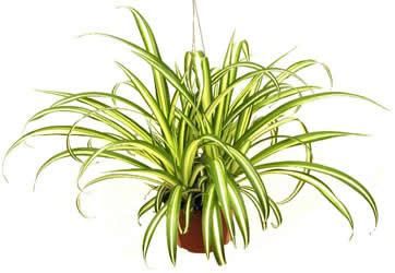 spider-plant-air-purifying[1].jpg