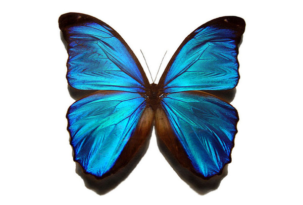 blue-morpho-butterfly-anima.jpg