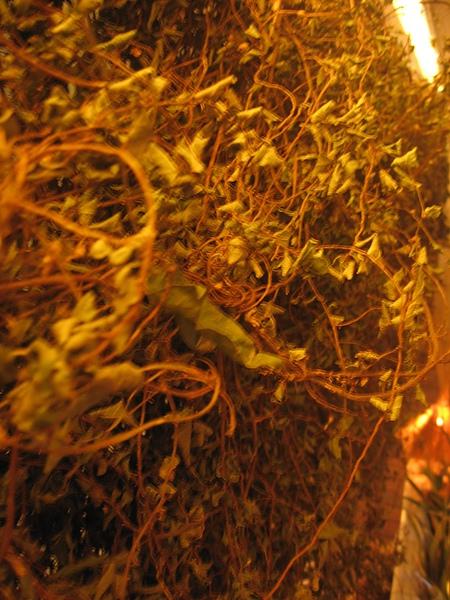 20101201 3 十分有名的世界綠癌 小花蔓折蘭也是裝置藝術的一員.JPG