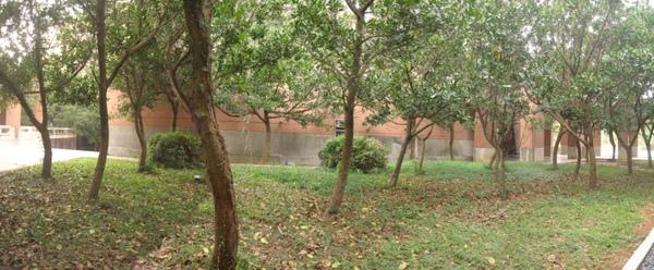 20101120 7 纏繞樹的藤蔓學士班宿舍區清除後.jpg