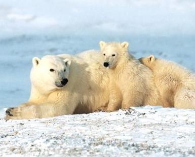 北極熊面臨滅絕危機