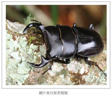 台灣大鍬型蟲