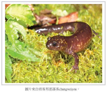 台灣山椒魚