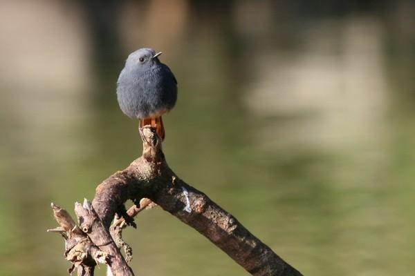 05鉛色水鶇雄鳥-蔡育倫攝.jpg