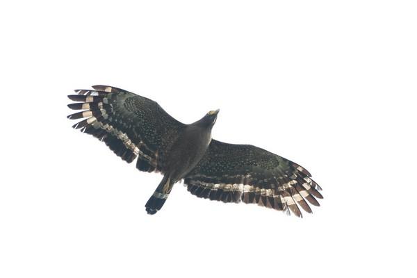 07大冠鷲(飛)-蔡育倫攝.JPG
