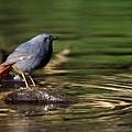 08鉛色水鶇雄鳥-蔡育倫攝.jpg