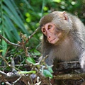 07台灣獼猴-蔡育倫攝.JPG