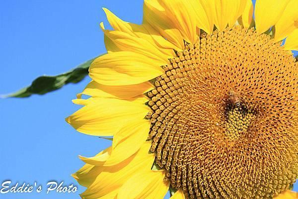 微笑向日葵