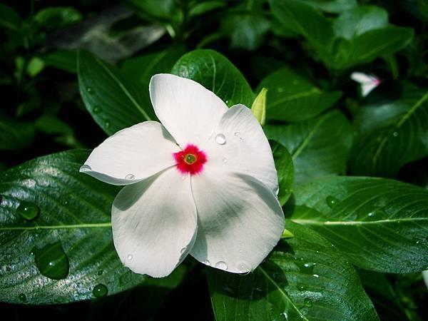 長春花開的燦爛,期盼每位老人都能如花盛開,天天過得開心