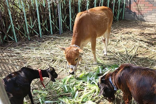 圖說:廖校長養的動物,是作物肥料來源,不會變成餐盤上的食物