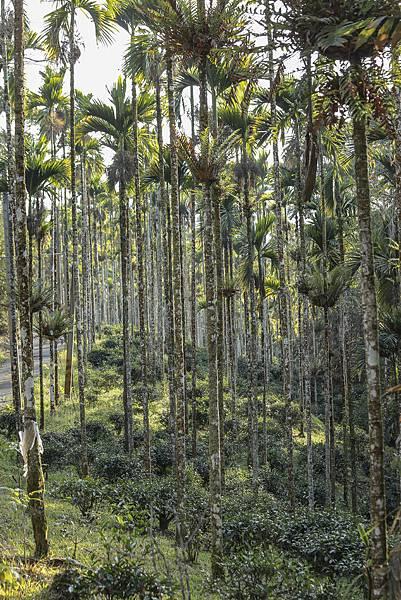 14圖說:檳榔樹與茶樹和平共處