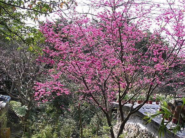 櫻花和屋頂上的水仙