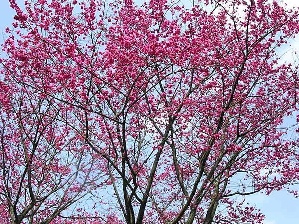適合當桌布的櫻花照