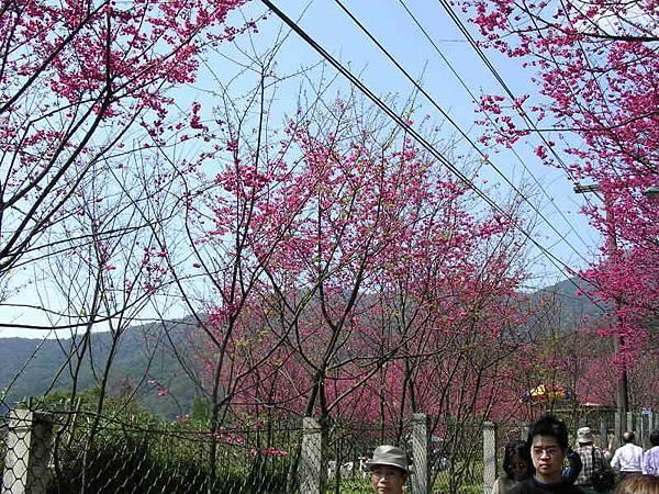 另一邊的櫻花