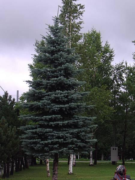 211 隨手拍, 長得像多層蛋糕的樹, 可惜不是冬天來, 不然塗滿奶油就更像了.JPG