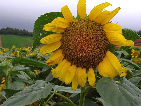 268 這時期應該是向日葵盛產, 不過這裡的向日葵其實也快凋了.JPG