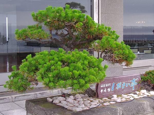 508 日本的庭園真的很多這玩意, 都是剪的怪怪的.JPG