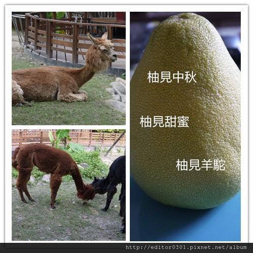 柚見羊駝.jpg
