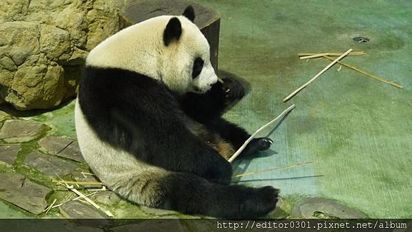 熊貓照片.jpg
