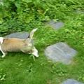 肥妞在院子裡亂跑