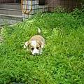 她超開心的.有草地可以玩