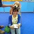 超級乖的黃金獵犬Cherry+佩蓉