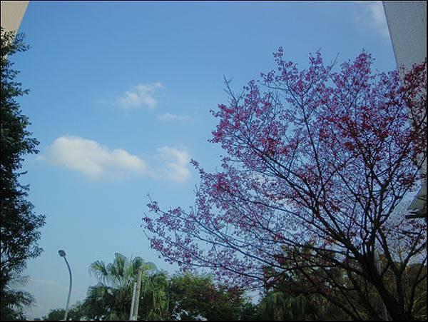 後面的櫻花