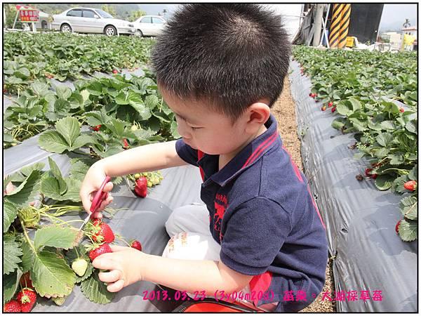 採草莓-13