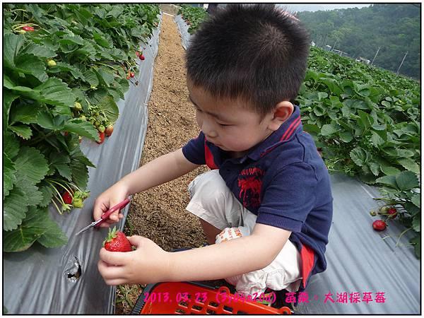 採草莓-14