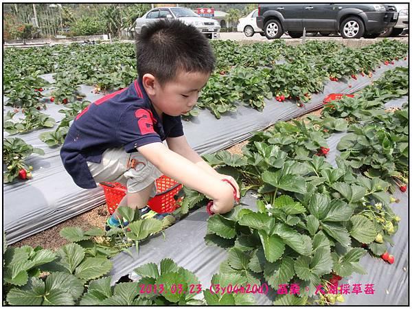 採草莓-17