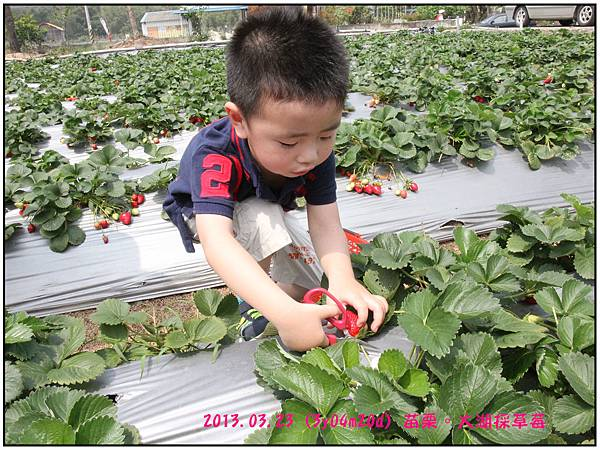 採草莓-18