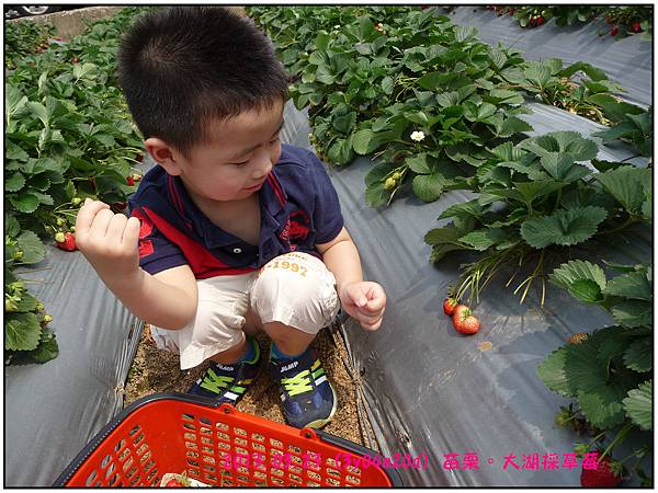 採草莓-19