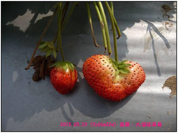 採草莓-21