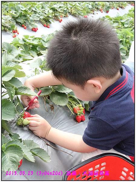 採草莓-26