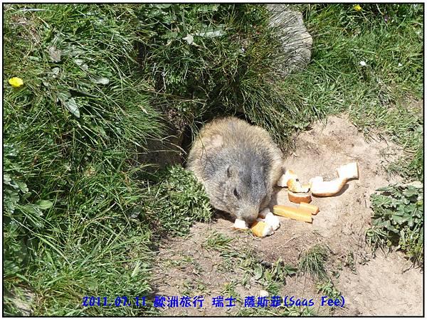 餵食土撥鼠-42