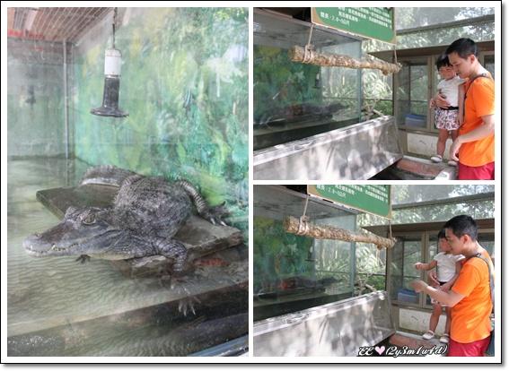 看鱷魚.jpg